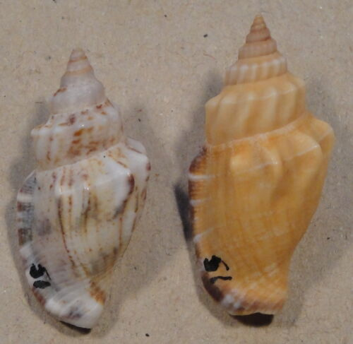 Strombus Labiatus 2 Shells 33+35mm West Pacific