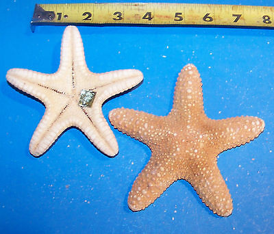 6 - 4+ Under 5 Real Jungle Starfish Star Fish - Seashells Item Jsf4-6