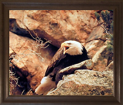 Bald Eagle Wild Bird Animal Brown Rust Framed Picture Art Print (19x23)