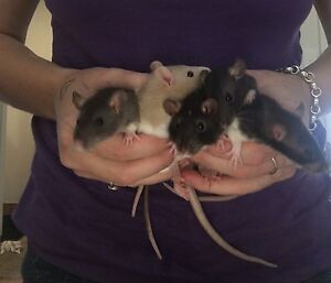 Gorgeous baby female rats! Only 2 left! Joondalup Joondalup Area Preview