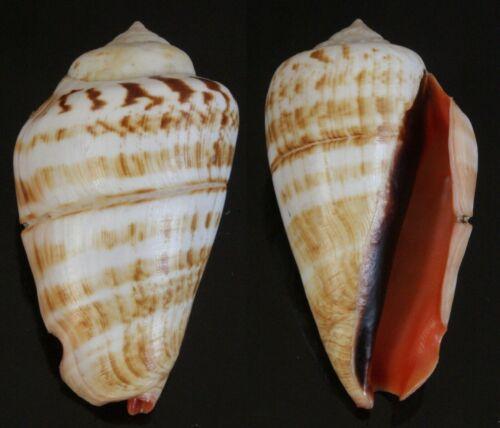 Seashells Strombus luhuanus TRUE CONCH 61.5mm F+++/GEM Freak Engrave Line Band