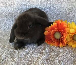 PURE BRED MINI LOP BABIES-READY NOW Joondalup Joondalup Area Preview