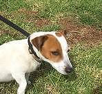 Jack Russell X (Abbie) is ready for adoption York York Area Preview