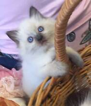 Pure Bred Ragdoll Kittens Looking for their New Forever Home Catherine Field Camden Area Preview