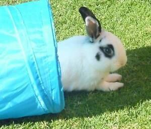 Angora cross Lop Rabbit Uralla Uralla Area Preview