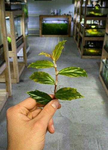 Begonia glabra - Dart Frog VIVARIUM / Terrarium Plant- Stem Cutting