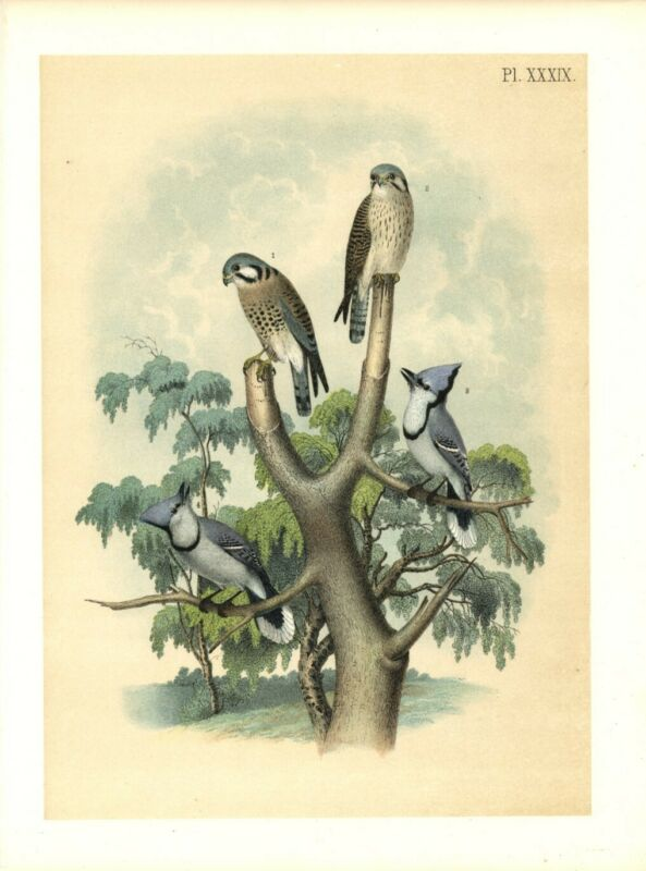 BIRDS 1878 SPARROW HAWK RUSTY CROWNED FALCON AND THE BLUE JAY PERCHED IN A TREE