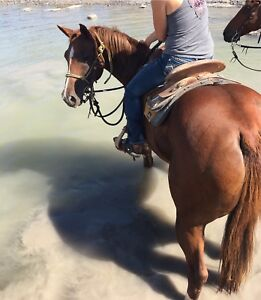 12 Year old registered mare