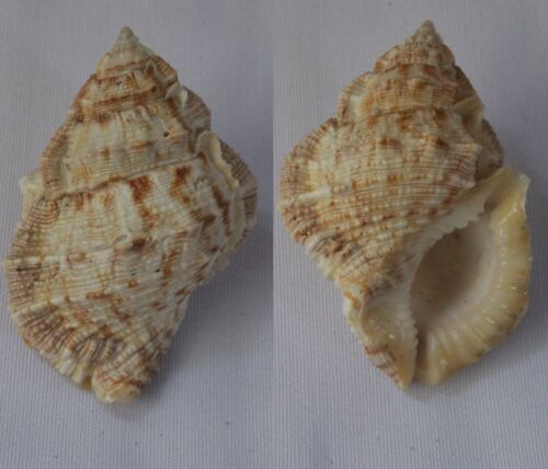 Seashells Bufonaria margaritula FROG SHELLS BURSA 52mm F+++/GEM Marine Specimen