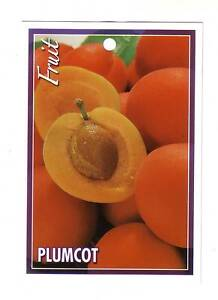 SPECIAL -- Plumcot  Apricot Trees -- 4 feet high plus Mooroolbark Yarra Ranges Preview