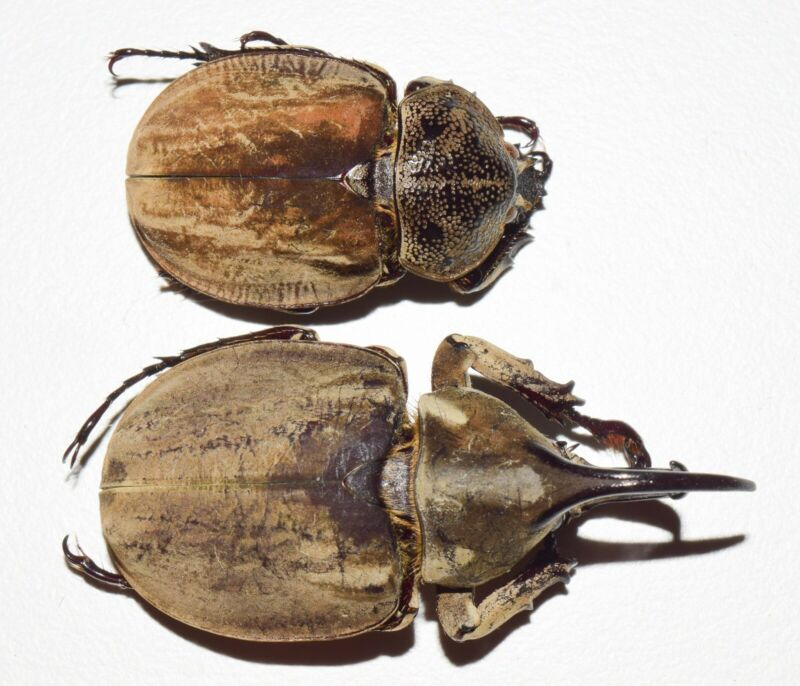 SPODISTES MONZONI PAIR- GUERRERO, MEXICO AS SHOWN IN THE PICTURE- US-2436 - $33.44