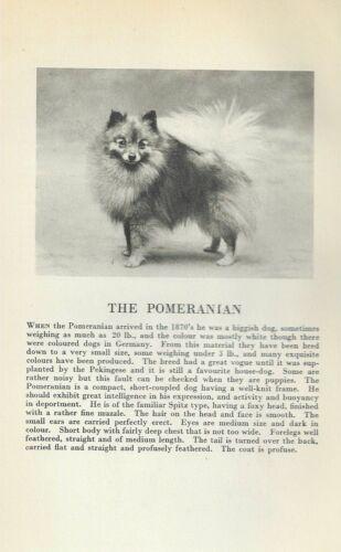 Pomeranian - 1931 Vintage Dog Print - Breed Description - MATTED