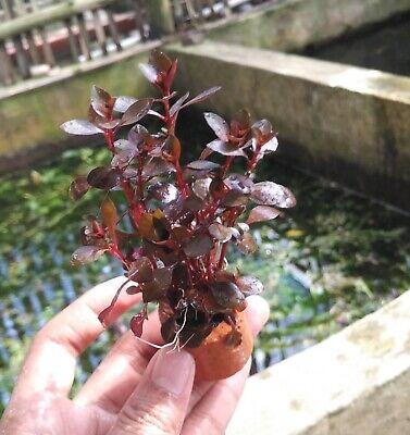 Ludwigia Repens Red Sp Rubin Bundle BUY2GET1Free Freshwater Live Aquarium Plant