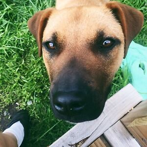 Beautiful 12mnth Rhodesian Ridgeback x Kelpie to a loving home Hobart CBD Hobart City Preview