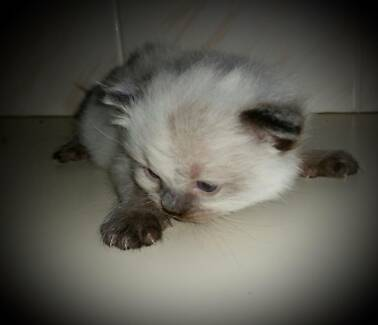 Gorgeous Female Ragdoll kitten