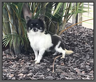 Pedigree Chihuahua Adult available