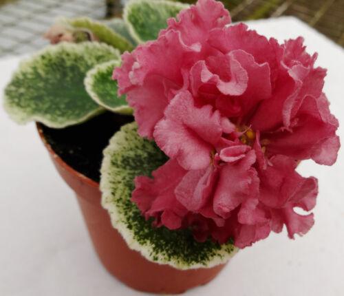 African violet SM CHIC POPPY / SM SHIKARNIY MAK  live plant in pot