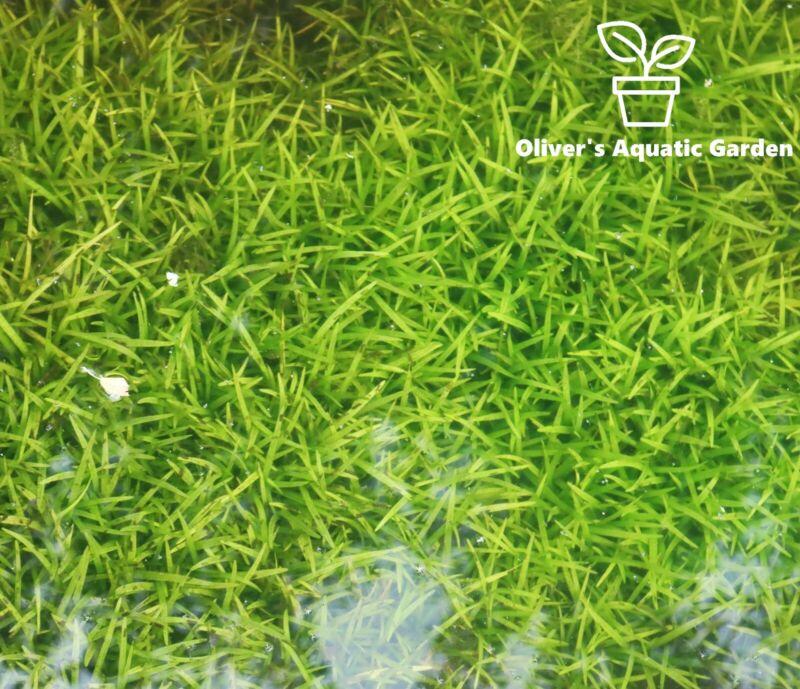 Dwarf sagittaria subulata Easy Carpeting Plant! Green Fast growing OWG