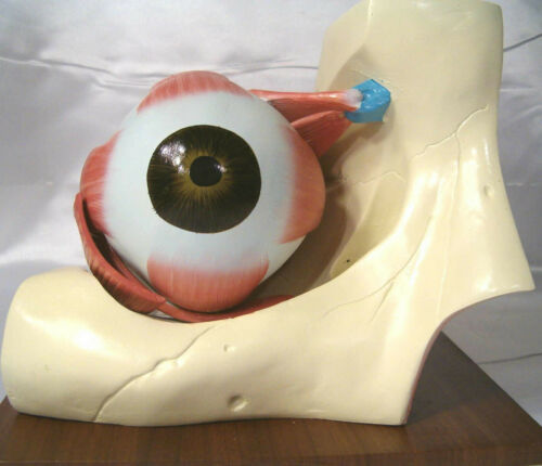 Eye dissection expansion anatomy anatomical model medical optometry display New