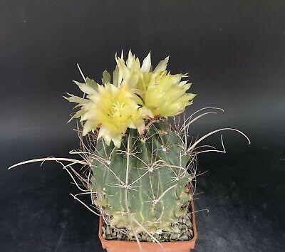 Ferobergia Ferocactus x leuchtenbergia 12 cm pot own roots RARE Cod 3041 Cactus