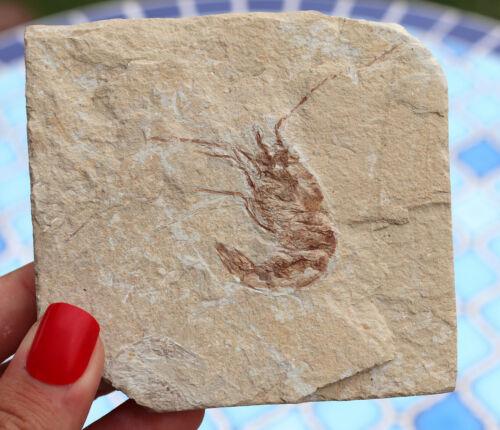 Jurassic Fossil Shrimp From Solnhofen Germany