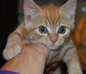 Rescue female ginger kitten, desexed vaccinated microchipped Elizabeth Playford Area Preview