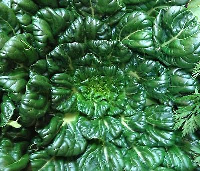 100 Pak (100 Samen Tatsoi Tah Tsai Rosetten Pak Choi Brassica rapa rosularis Asia-Salat)