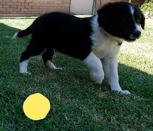 Pure Bred Border Collie Puppies