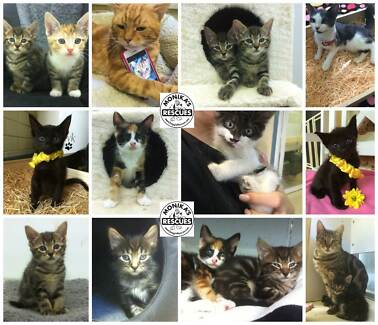 Cats and Kittens AVAILABLE at DOGGIERESCUE Ingleside Warringah Area Preview