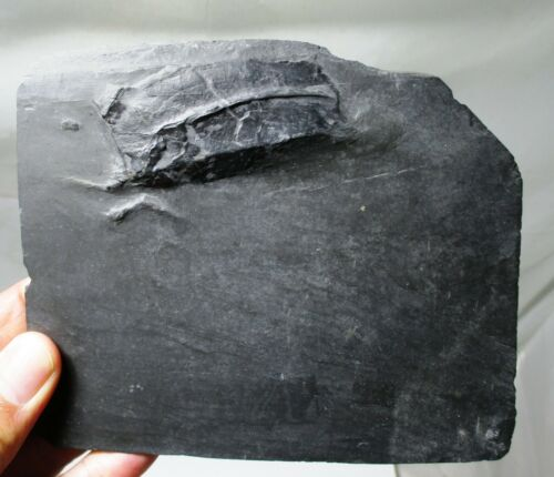 Bundenbach Phyllocarid fossil - Nahecaris steurtzi - Hunsruck, Germany