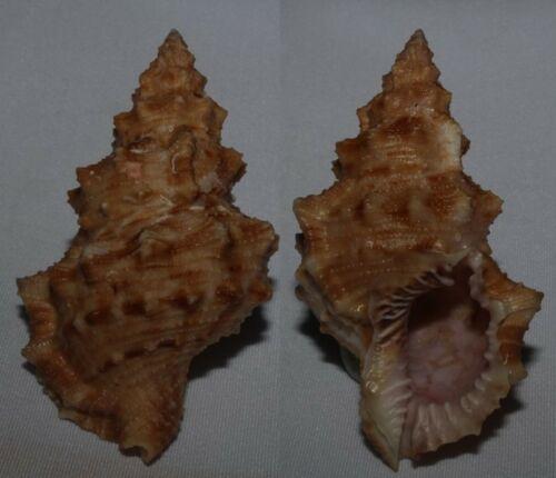 Seashells Bursa latitudo BUFONARIELLA 74mm VERY LARGE F+++/GEM Marine Specimen