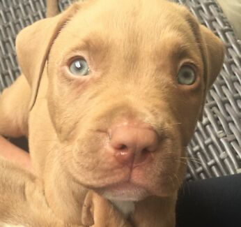 Last red nose amstaff pup