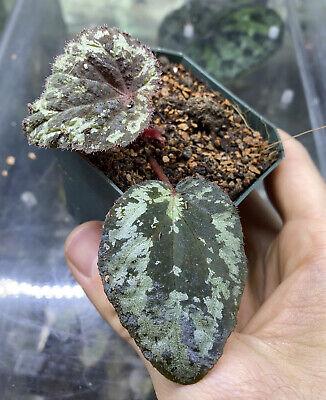 Begonia Sp. Aff. Mendumae Terrarium Plant