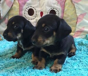 Miniature Dachshund Males Gympie Gympie Area Preview