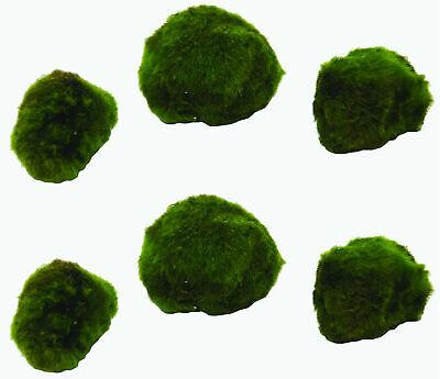 Bulk Pack Marimo Ball / Size: 1