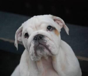 Bulldogs - British Pedigree ANKC Registered - Imported Lines