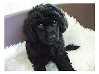 Poodle puppy's white/ black
