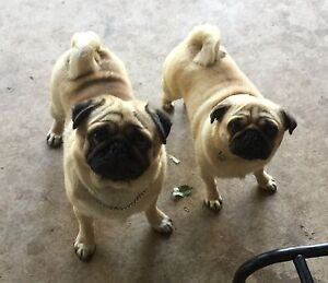 PUG PUPPIES PAPERS North Maclean Logan Area Preview