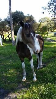 4 year old Quarterhorse x Arab gelding Robinson Albany Area Preview