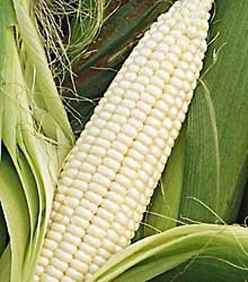 Heirloom Non-GMO STOWELL'S EVERGREEN SWEET WHITE CORN❋200 (Non Gmo Corn)