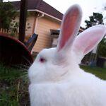 Dallas Rabbit