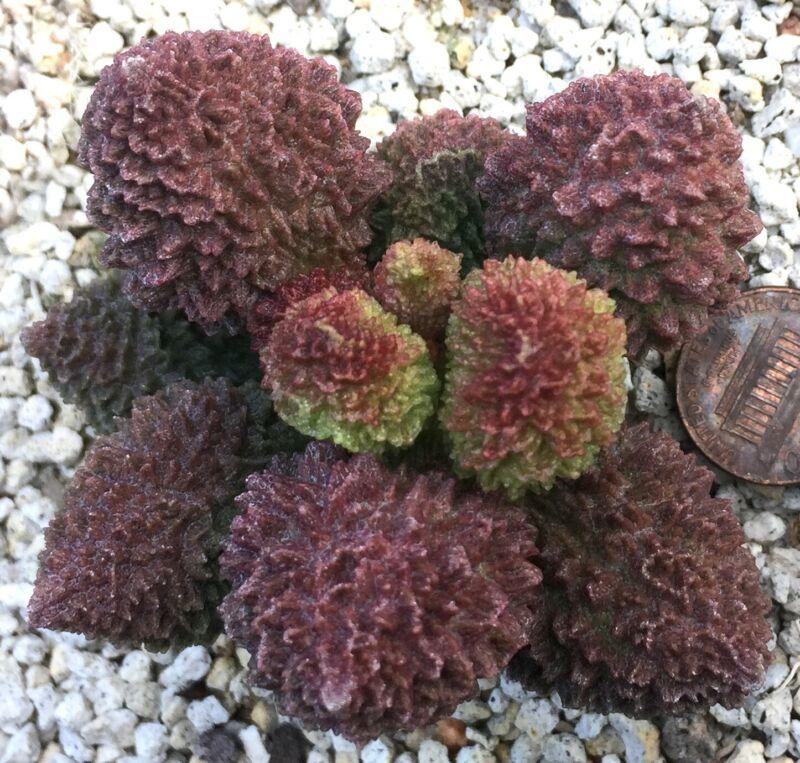 Succulent Plant--Adromischus marianiae herrei