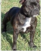 Maggie Female Staffordshire Bull Terrier Cessnock Cessnock Area Preview