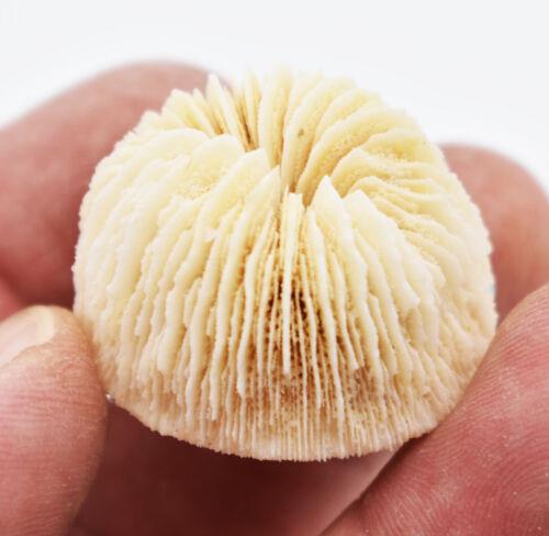 """Set of 6 White Mushroom Corals Home Decor 1-2"""" Nautical Coastal Beach Crafts"""