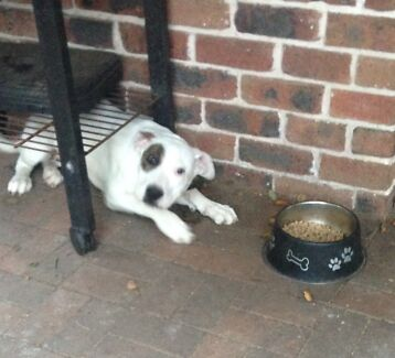 BEAUTIFUL AMERICAN STAFFY PUPPY Canterbury Canterbury Area Preview