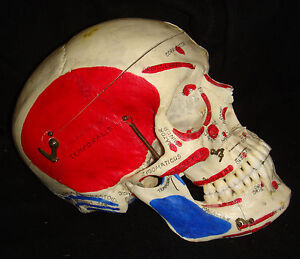 Genuine-Real-Male-Dissected-Unusual-Cuts-Human-Skull-Painted-Muscle-Attachments