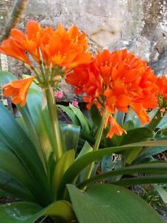 Clyvia plants In 8 litre pots