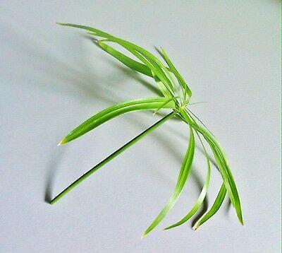 *WASSERPALME* Zyperngras Papyrus Cyperus alternifolius Sumpfpflanze Teichpflanze