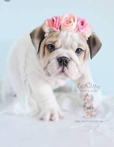 Wanted: Wanted; french bulldog Or english bulldog puppies under $800