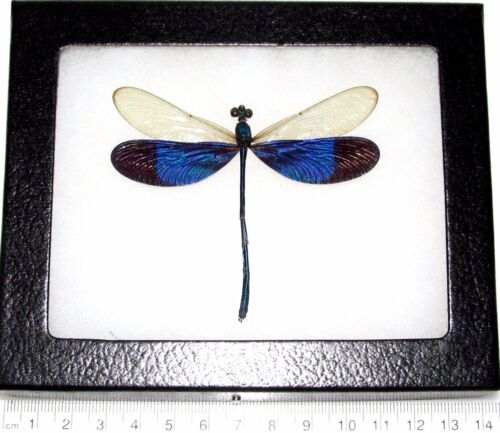 REAL FRAMED BLUE CLEAR WINGS DRAGONFLY DAMSELFLY NEUROBASIS KAUPI